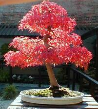 12 Japanese Red Maple Seeds Heirloom Acer Palmatum Seeds Bonsai or Landscape