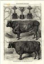1862 Harrison Weir Smithfield Club Show Prize Cattle And Cups