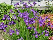 15 PURPLE IRIS FANS GARDEN/POND