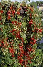 "Tomato ""Hundreds And Thousands"" Ideal For Hanging Baskets Exquisite Tasting"