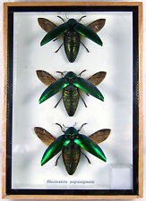 3 Sternocera Aeguisignata Real Butterfly Insect Bug Taxidermy Display Box gphsy