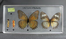 COMMON BUTTERFLY LIFECYCLE IN LUCITE INSECT DESKTOP RESIN PAPERWEIGHT BOXED N14