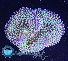 """AQM"" WYSIWYG ULTRA MULTI MOUTH RICORDEA  MR31 Live corals, REEF, LPS, ANEMONE"