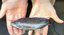 25 Live Mozambique Tilapia fry ( 1/4- 3/4 inch ) for Aquaponics.