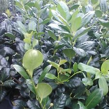 5 Nellie R Stevens Holly Trees(Makes a great hedge and privacy screens)