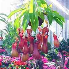 New 20PCS Pitcher Plant Seeds Purpurea Foliage Carnivorous Shades Flower Garden