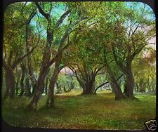Glass Magic Lantern Slide OLIVE WOODS ROMAN CAMPAGNA C1890 ITALY TREES GROVE