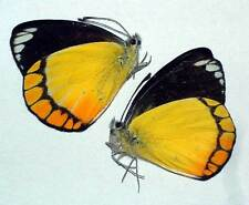 DELIAS ROTHSCHILDI  - unmounted PAIR
