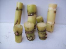 """Organic Sugar Cane Green Yellowish 24 nodes for Planting About 2 """" Each Stick"""