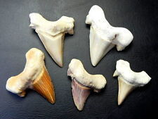 "1 1/2 "" - 2 1/2 "" Large Otodus Shark Tooth 5 pcs Moroccan Fossil Teeth"
