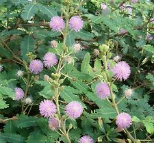 SENSITIVE PLANT * Mimosa pudica * TOUCH-ME-NOT * HUMBLE PLANT SEEDS NEW!