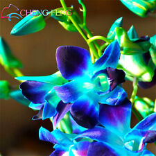 Dendrobium Seeds, Potted Seed Flower In Bonsai Rare Orchid Plants, Blue Color