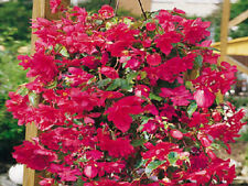 15 Seeds Begonia Illumination Rose Pelleted FLOWER SEEDS illumination