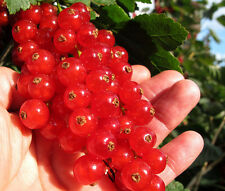 Rare »Rovada Red Currant » longest clusters of giant red currant fruits*7 seeds