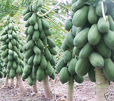 Papaya Indian Beauty Fruit Seeds 50 Seeds
