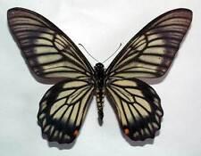 CHILASA VEIOVIS - unmounted butterfly