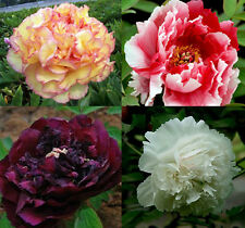 80 seeds China's Peony Seed Paeonia suffruticosa Tree 4 color black flower etc.