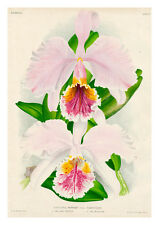 Cattleya Mossiae Varietates by Jean Linden Orchids A4 Art Print