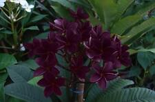 """DAM BANNA II"" FRAGRANT PLUMERIA CUTTING HAVE ROOTED 7-12"" WITH CERTIFICATION"