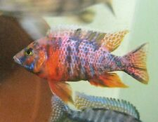"SEE VIDEO (5) JUVENILE 1-2"" STRAWBERRY OB African Peacock Cichlids!!!"