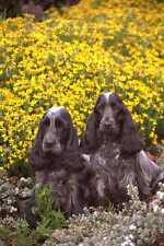 659005 Two Cocker Spaniels In Flowerbed A4 Photo Print