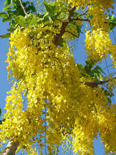 Golden Rain Tree - Healthy Bare Root Plant - Shade - 2 pack
