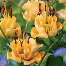 Pack x1 Lillium Double-Flowering Asiatic Lily 'Apricot Fudge'  WPC Prins Bulbs