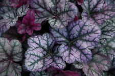 "Heuchera, purpuglöckchen ""Little Prince"""