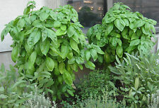 Basil Seeds - GENOVESER - Popular Herb for Flavoring - MEDICINAL - 100+ Seeds