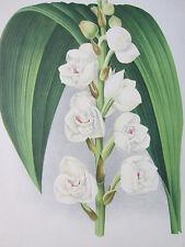Linden Lindenia Large Print Orchid Peristeria elata - 1888