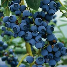 Blueberry Northern Highbush Seeds (Vaccinium corymbosum) 50+Seeds