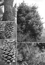 PINUS MAXIMARTINEZII - BIG CONE PINYON, 10 SEEDS /// ENDANGERED SPECIES
