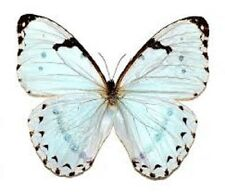 ONE REAL BUTTERFLY ICE BLUE MORPHO CATENARIA UNMOUNTED WINGS CLOSED