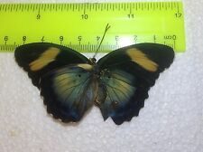 SALE TOG16 A+/ A  Euphaedra  Forester Papilio