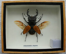 ORANGE STAG BEETLE - ODONTOLABIS - MOUNTED IN WOODEN BOX - TAXIDERMY INSECT