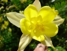 Aquilegia 'Yellow Queen'  75+ seeds Hardy Perennial - Buy 2 & get 3rd pkt free!