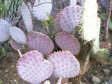 ARIZONA - PURPLE, PRICKLY PEAR CACTUS PEDAL - LIVE PLANT !