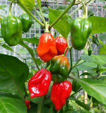 Devil's Tongue Red - A Rare and Extremely Hot Chilli Pepper