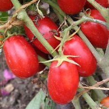 graines de tomate roma  fruits allongés et charnues 350 graines environs