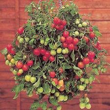 12 graines TOMATE GARTENPERLE Suspensions Jardinières - Légume potager