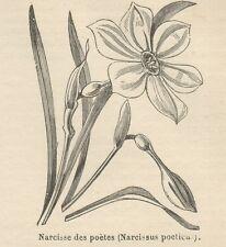C8492 Narcissus poeticus - Stampa antica - 1892 Engraving