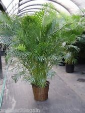 ARECA PALM TREE SEEDS VERY POPULAR EASY TO GROW A CHARMING ADDITION TO ANY ROOM