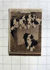"1937 Champion Old English Sheepdog Pups Of"" Watchers Watermark"", Miss Tucker"