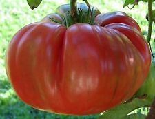 30 RED BRANDYWINE TOMATO SEEDS 2017 (all non-gmo heirloom vegetable seeds!)