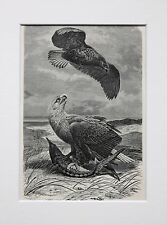 White Tailed Sea Eagle - Antique Victorian B/W Print, Wood Engraving, Mounted