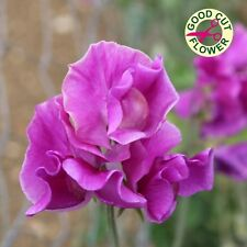 Kings Seeds - Sweet Pea, Eclipse - 20 Seeds