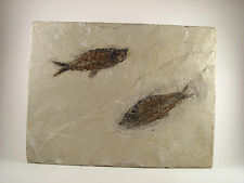 YB Old Natural Fish Fossil Display! Kemmerer, WY.  7lbs 6oz {A4b4}