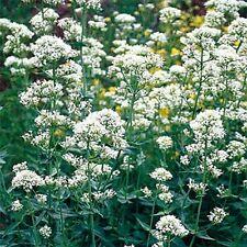 Jupiter's Beard- (Centranthus Ruber Albus) - White- 50 Seeds