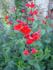 "Salvia ""royal bumble"" ( 20 graines)"