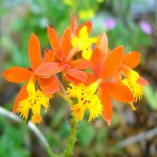Epidendrum radicans RAINBOW / CRUCIFIX ORCHID  Exotic, Very Easy to Grow ~PLANT~